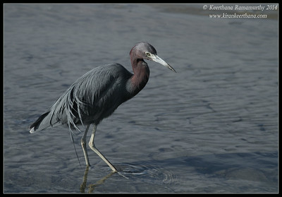 Little Blue Heron, Robb Field, San Diego River, San Diego County, California, February 2014