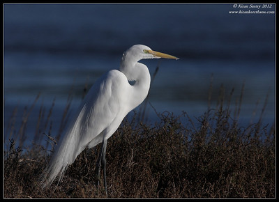Great Egret getting into breeding plumage, Robb Field, San Diego River, San Diego County, California, February 2012