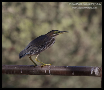 Green Heron, Salton Sea, Imperial County, California, November 2012