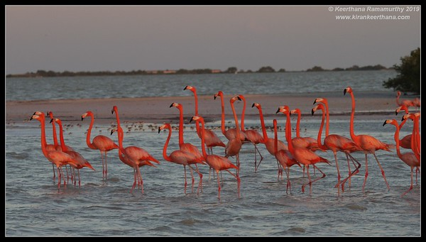 American Flamingo, Rio Lagartos, Yucatan Peninsula, Mexico, February 2019