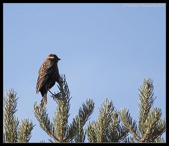 Pine Siskin at the visitor center, Bosque Del Apache, Socorro, New Mexico, November 2010