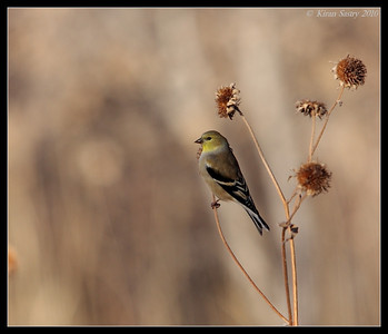 Female American Goldfinch, Bosque Del Apache, Socorro, New Mexico, November 2010