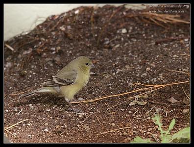 Lesser Goldfinch, Tamarisk Grove Campground, Anza Borrego Desert State Park, San Diego County, California, March 2011
