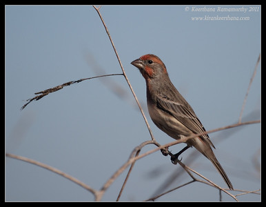 House Finch, La Jolla Cove, San Diego County, California, October 2011