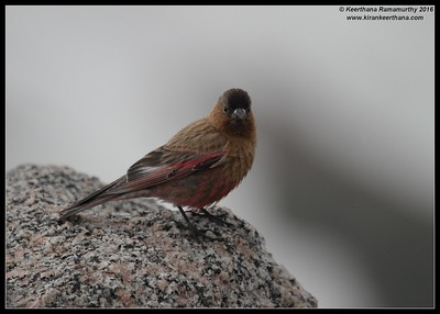 Brown-capped Rosy Finch,  Mount Evans, Colorado, June 2016