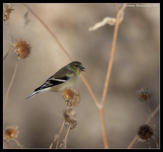 American Goldfinch female, Bosque Del Apache, Socorro, New Mexico, November 2010