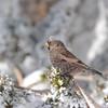 Black Rosy-finch (Leucosticte atrata) Sandia Crest, Albuquerque NM