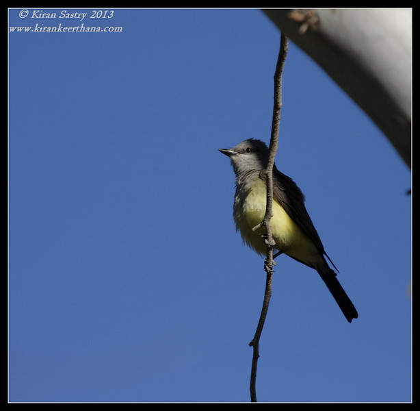 Cassin's Kingbird, Covington Park, Morongo Valley, Riverside County, California, May 2013