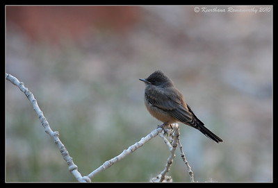 Say's Phoebe, Zion National Park, Utah, May 2010