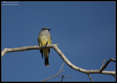 Cassin's Kingbird, Lake Murray, San Diego County, California, December 2011