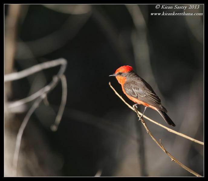 Vermilion Flycatcher, Covington Park, Morongo Valley, Riverside County, California, May 2013
