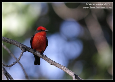 Vermilion Flycatcher, Covington Park, Morongo Valley, Riverside County, California, May 2013