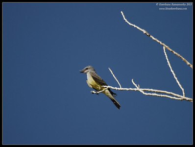 Western Kingbird, Covington Park, Morongo Valley, Riverside County, California, May 2013