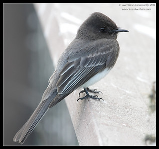 Black Phoebe, La Jolla Cove, San Diego County, California, February 2011