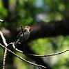 Eastern Wood Peewee (Contopus virens) Grand Forks, ND