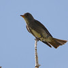Olive-sided Flycatcher (Contopus cooperi) Snowbird UT