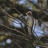 Western Wood Pewee (Contopus sordidulus) Riudoso NM