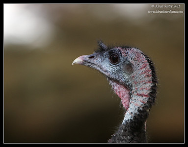 Wild Turkey at the Madera Kubo, Madera Canyon, Arizona, November 2011
