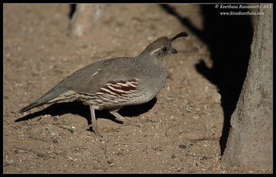 Gambel's Quail Female, Salton Sea, Imperial County, California, November 2012