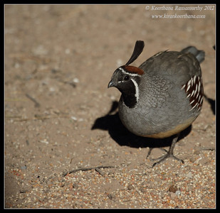 Gambel's Quail Male, Salton Sea, Imperial County, California, November 2012