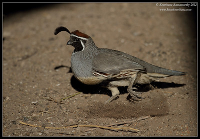 Gambel's Quail Male scratching the ground for feed, Salton Sea, Imperial County, California, November 2012
