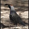 Gambel's Quail Male, Salton Sea, Imperial County, California, November 2009