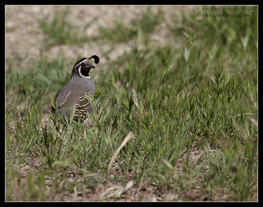 California Quail male, Indian Canyons, Palm Springs, California, March 2011