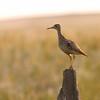 Upland Sandpiper (Bartramia longicauda) Morton County, ND