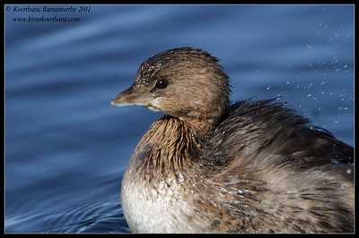 Pied-billed Grebe, Lake Murray, San Diego County, California, December 2011
