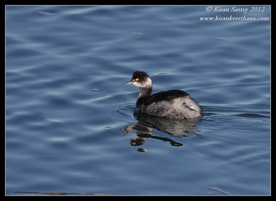 Eared Grebe, Robb Field, San Diego River, San Diego County, California, February 2012
