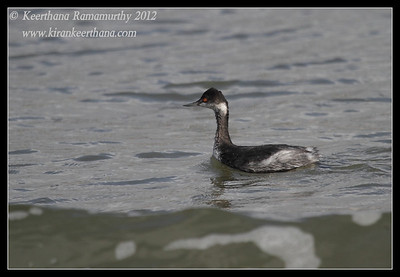 Eared Grebe, Coronado Ferry Landing, San Diego County, California, February 2012