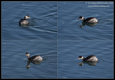 Eared Grebe feeding, Robb Field, San Diego River, San Diego County, California, February 2012