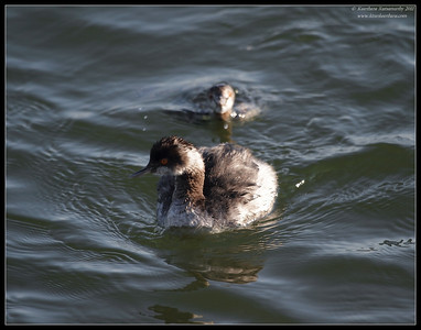 One Eared Grebe sneaking up behind another, Bolsa Chica Ecological Reserve, Orange County, California, February 2011