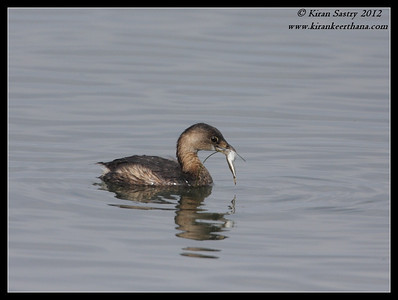 Pied-billed Grebe with feed, Robb Field, San Diego River, San Diego County, California, February 2012