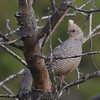 Scaled Quail (Callipepla squamata) Sante Fe NM