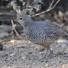 Scaled Quail (Callipepla squamata) Christmas Mountain Oasis, Terlingua TX