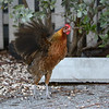 Red Jungle Fowl (Gallus gallus) Key West FL