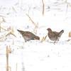 Grey Partridge (Perdix perdix) Tympanachus WMA, Crookston MN