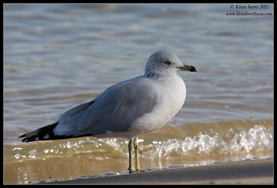 Ring-billed gull, Coronado Ferry Landing, San Diego County, California, December 2011
