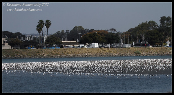 Huge congregation of mainly California Gulls, Robb Field, San Diego river, San Diego County, California, February 2012