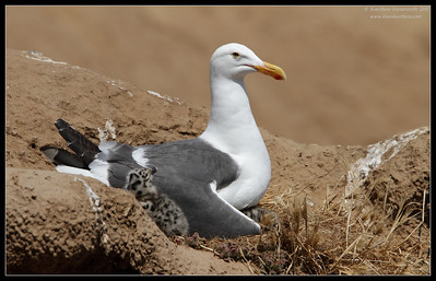 Western Gull sitting on the nest with chicks, La Jolla Cove, San Diego County, California, June 2011
