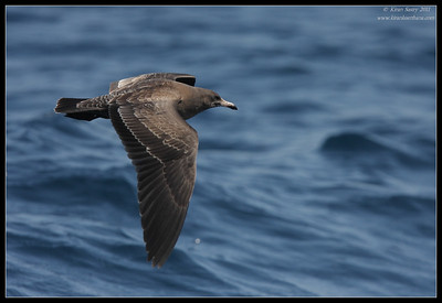 Juvenile Western Gull, Whale watching trip, San Diego County, California, July 2011