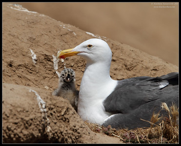 Western Gull sitting on the nest with a curious chick peeping out, La Jolla Cove, San Diego County, California, June 2011