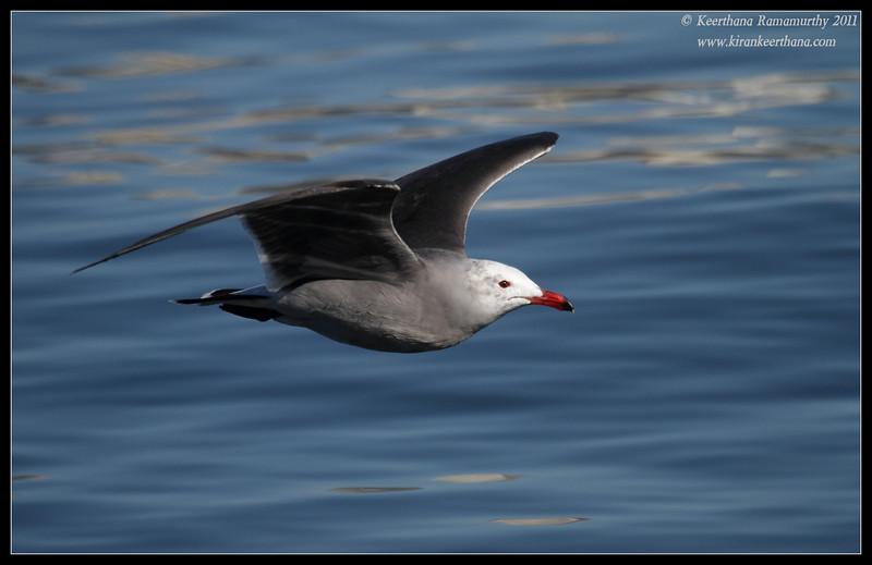 Heermann's gull, Coronado Ferry Landing, San Diego County, California, December 2011