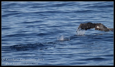 Dark morph Pomarine Jaeger, Whale watching trip, San Diego County, California, January 2015