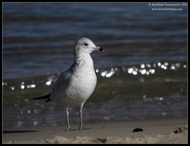Ring-billed gull, Coronado Ferry Landing, San Diego County, California, December 2011