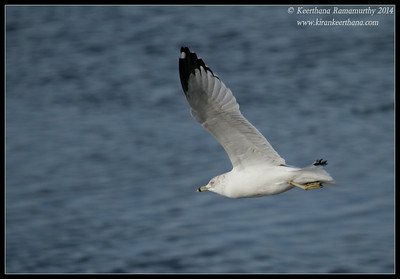 Ring-billed Gull, Robb Field, San Diego River, San Diego County, California, February 2014