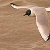 Bonaparte's Gull (Larus philadelphia) Long Lake NWR, ND