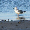 Bonaparte's Gull (Larus philadelphia) Panama City, FL