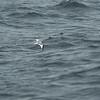 Sabine's Gull (Xema sabini) Monterey Bay, CA
